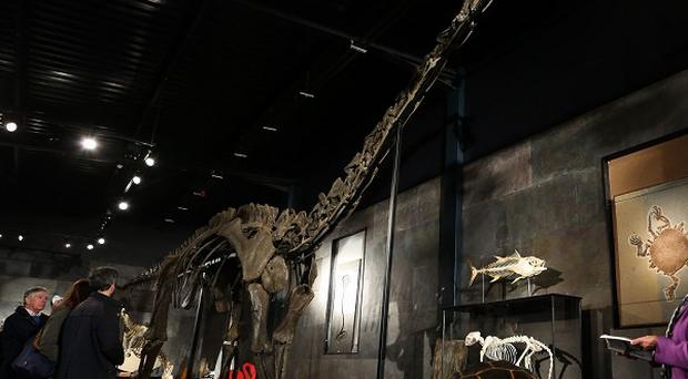 Long-necked Diplodocus Longus which is heading for Denmark after being sold at auction.