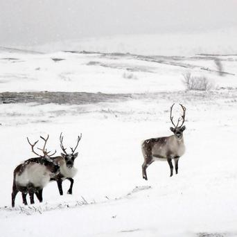 There are around 200,000 reindeer in Finland, most of them herded in the wild.