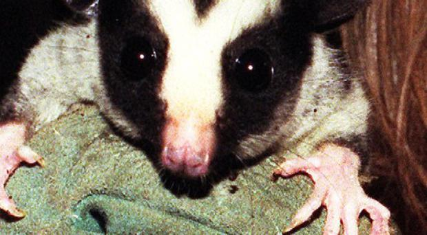 Despite protests from Peta, the annual New Year's Eve possum drop can go ahead as planned in a North Carolina town