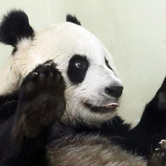 Edinburgh Zoo's pandas are the most popular animals for an adoption scheme at the visitor attraction