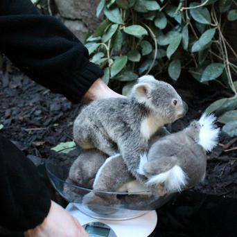 Yooranah, the koala joey born at Edinburgh Zoo, has finally been named after keepers discovered his gender