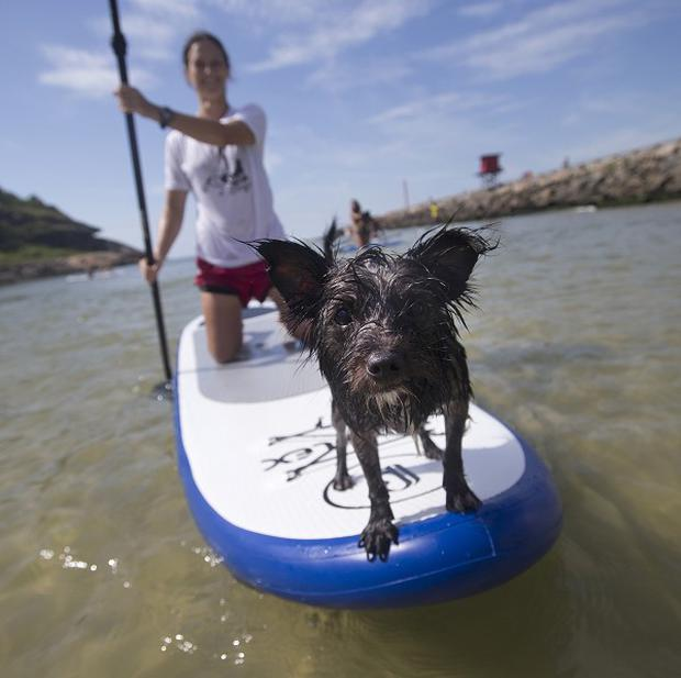 A dog named Jack stands at the front of a paddle board as his owner trains off Barra de Tijuca beach in Rio de Janeiro, Brazil. (AP)