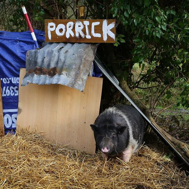 Porrick the pig grazes on land in Folkestone, Kent, as local people continue to care for her