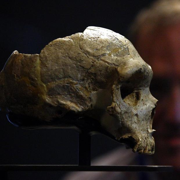 A Neanderthal skull, as new research suggests remnants of Neanderthal DNA in the genes of non-African modern humans are linked to a range of health problems