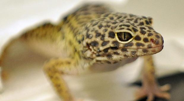 Scientists have developed a self-cleaning adhesive tape based on the ceiling-clinging feet of the gecko lizard