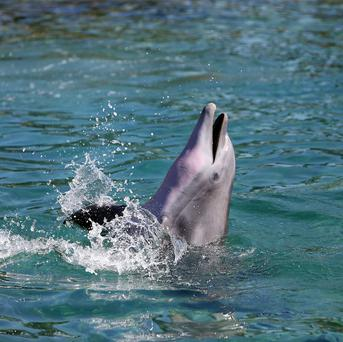 A 1965 experiment tried to teach a dolphin to speak English
