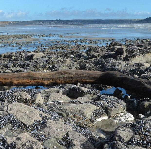 A trunk or large bough of oak washed out of peat by storms onto rocks at chyandor, St Michael's Mount