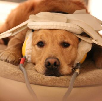 A dog prepares to have its brain scanned