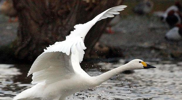 A Bewick's swan cygnet has been abandoned by its parents who have migrated to Arctic Russia.