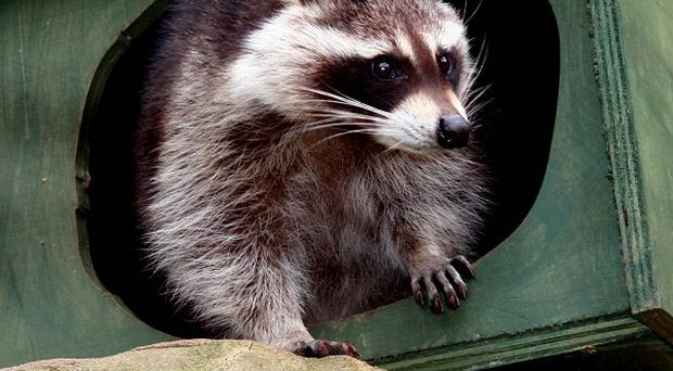 Female raccoon Missy, who escaped by digging out of her enclosure, has been found five weeks after her great escape