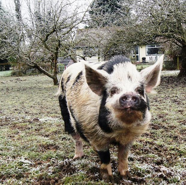 Dominic, a 14-stone pig originally rescued by welfare charity HorseWorld, has retired from his job with Avon Fire & Rescue Service where he had the nickname Fireman Ham. For full details see PA Community Newswire story ANIMALS Ham.