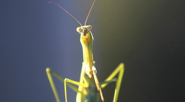 Scientists have discovered new species of praying mantis