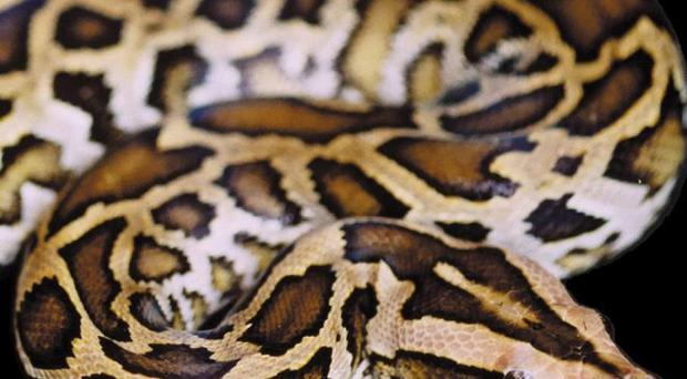 Burmese pythons slithered back home despite being released up to 24 miles away from where they were captured