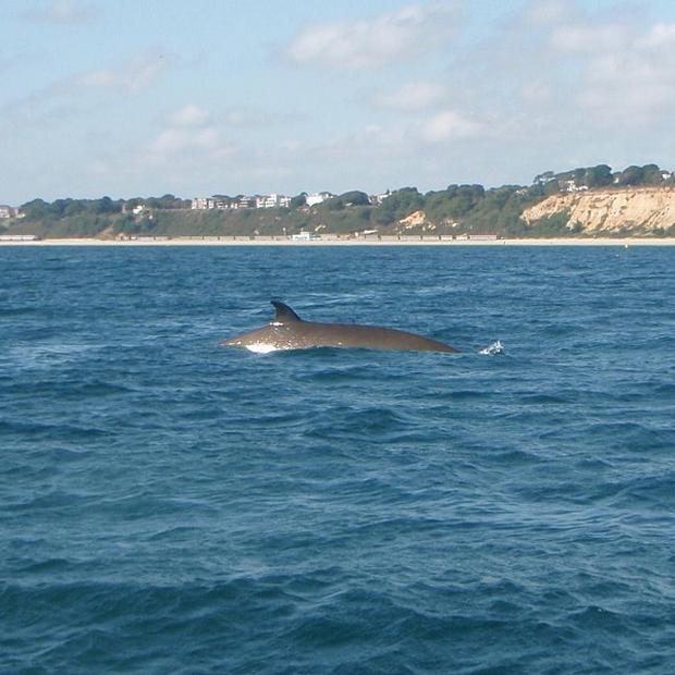 A 9ft whale which has been spotted swimming near Bournemouth Pier and in Poole Bay in Dorset.