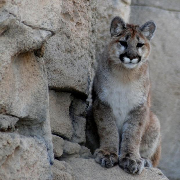 Zia on an outcropping in the mountain exhibit (AP/Courtesy of Mary Streng, Living Desert Zoo and Gardens State Park)