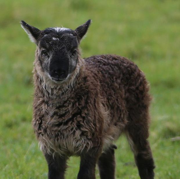 The as yet unnamed geep (a cross breed of a goat and a sheep) born on Paddy Murphy's farm in Ballymore Eustace, Co Kildare
