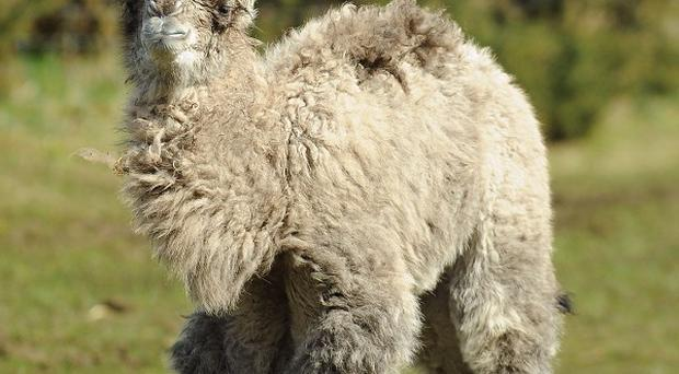 Farm shop owners were stunned when one of their camels gave birth