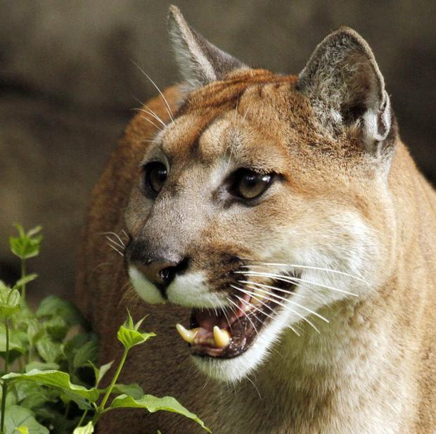 Modern cougars are opportunistic predators and scavengers (AP)