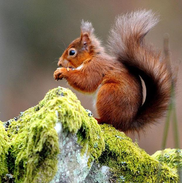 Red squirrels only survive in a handful of locations in the UK