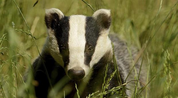 A badger locked in the shed of a woman from Bath managed to bash a hole in the wall to escape