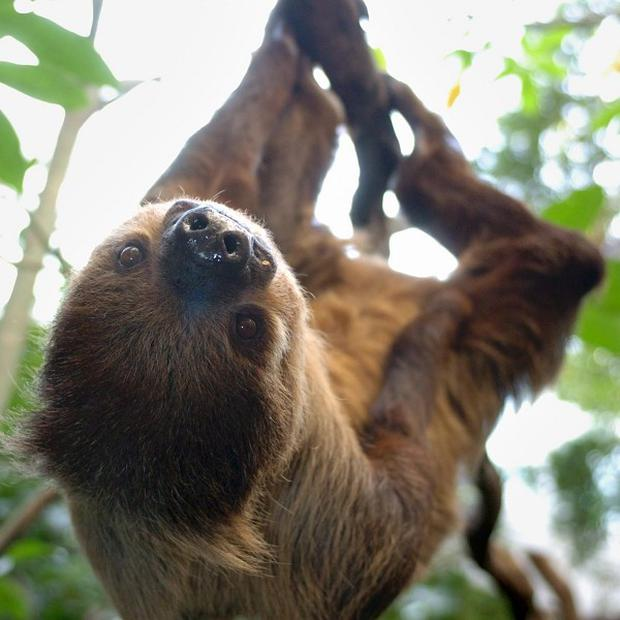Sloths spend 90% of their lives upside down and have internal organs fastened in place to prevent them squashing their lungs