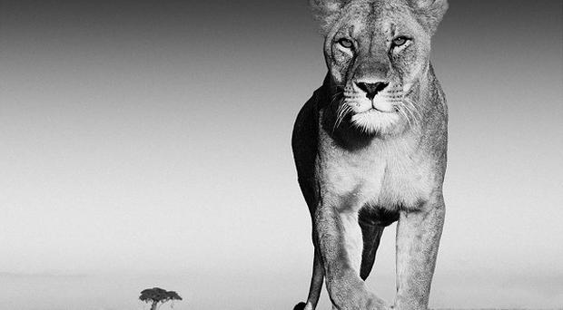 David Yarrow said Old Spice aftershave helped him get photographs of lions (David Yarrow/PA)