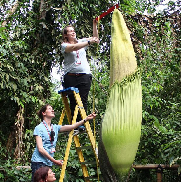 Staff at the Eden Project measure the towering Titan arum