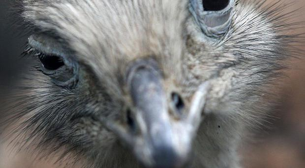 Rheas have sharp claws capable of disembowelling a person