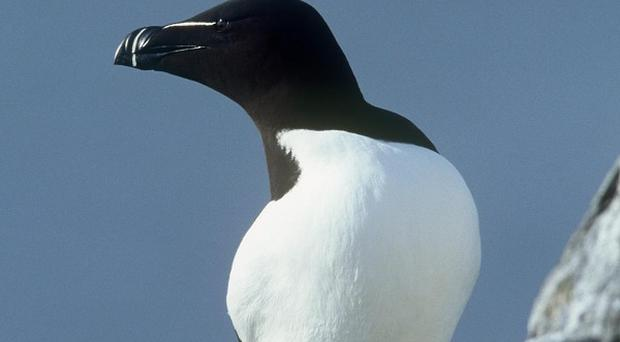The razorbill may have got lost in