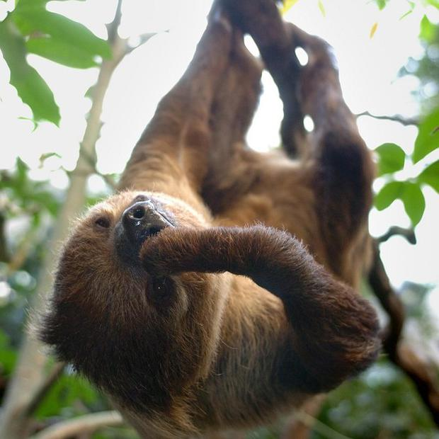A sloth at London Zoo's Clore Rainforest environment