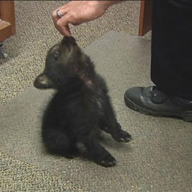 Police watch over a female bear cub dropped off at the police station after a boy found her inside the city limits (AP)