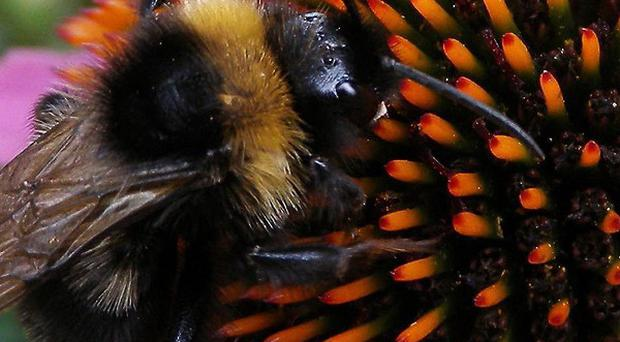 Scientists are examining whether there are any negative impacts if bumblebees compete for food or nesting sites