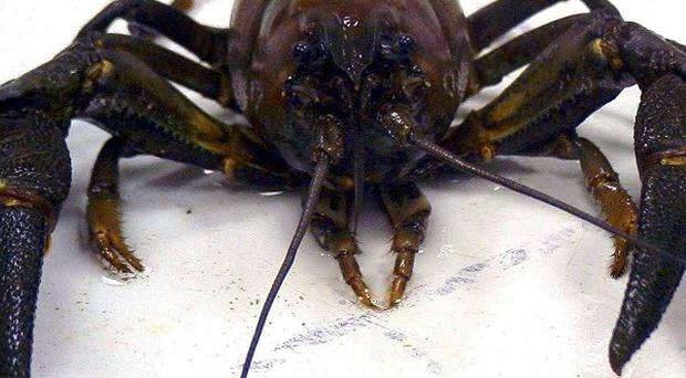 Research suggests crayfish experience rudimentary emotions