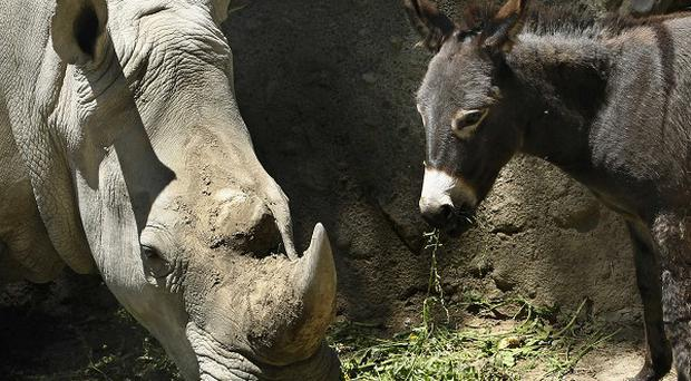 Rhinoceros Manuela and a donkey have become firm friends at Tbilisi Zoo in Georgia. (AP)