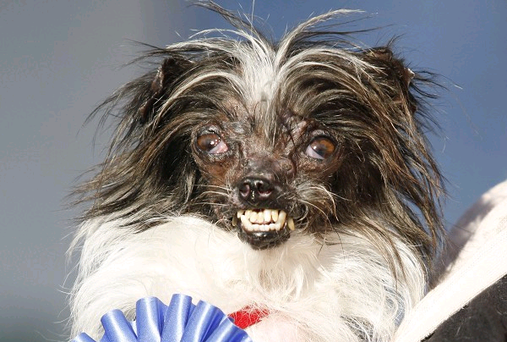 Two-year-old Peanut has won the World's Ugliest Dog Contest (AP)