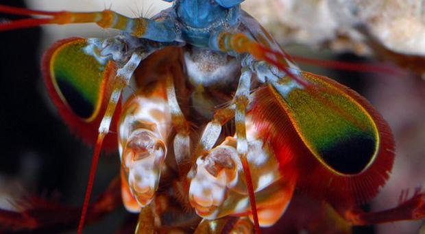 Mantis shrimps have a remarkable way of seeing the world, research has revealed