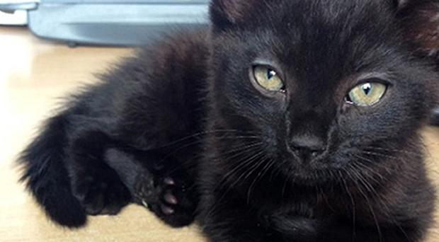 A black kitten whose owners are being sought by South Somerset District Council