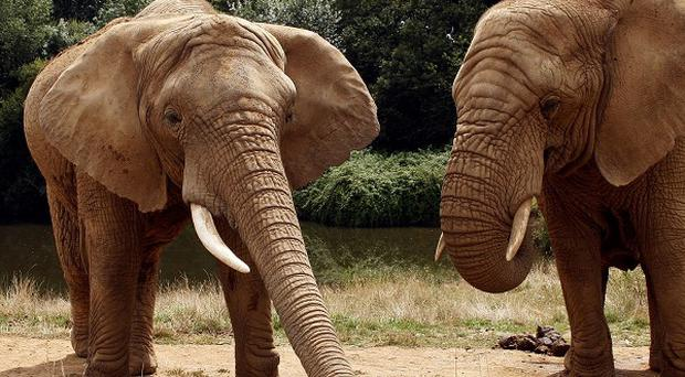 Elephants have the best sense of smell among mammals, according to scientists