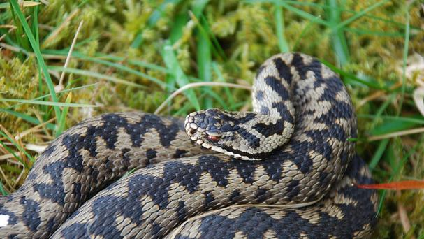 A man is seriously ill after being bitten three times by an adder