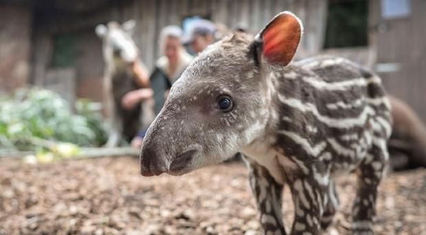 Zathra is the first male tapir to be born at Chester Zoo for eight years (Chester Zoo/PA)