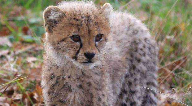 Ruuxa the cheetah cub was paired with puppy Raina after she was rejected by her mother