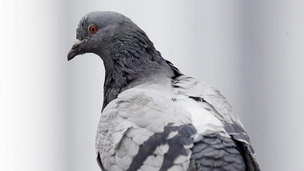Pigeons are similar to people when it comes to taking risks, research showed