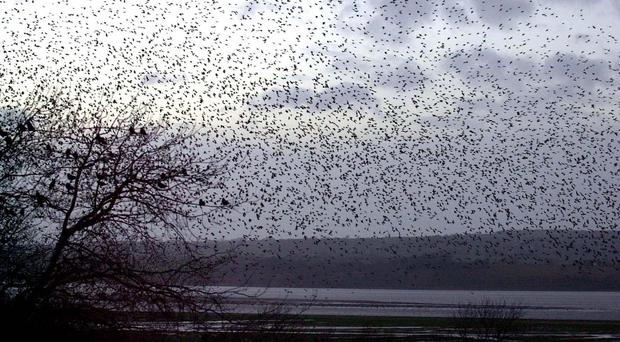 The study focused on starlings, but the scientists believe it has important implications for humans