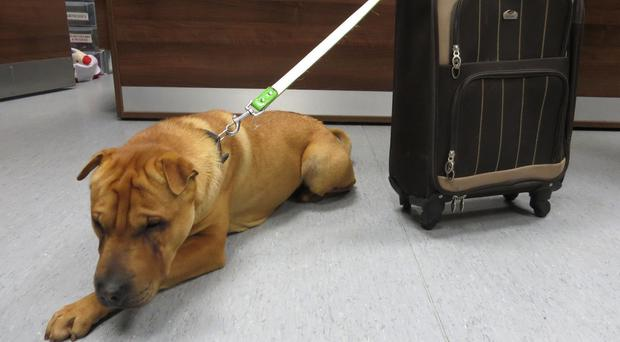 Kai was found abandoned at Ayr railway station, next to a suitcase filled with his belongings (Scottish SPCA/PA)