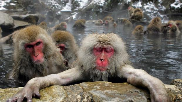 Wild macaques take a dip in a hot spring