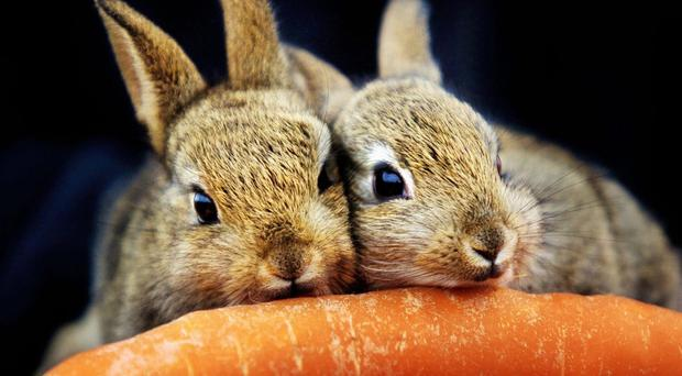 bunny support system