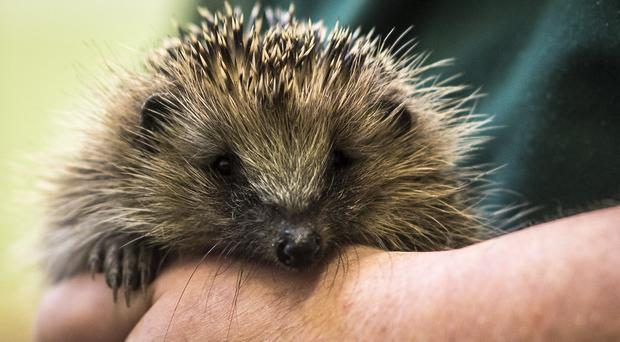 The hedehog was spotted squashed between metal bars in Old Station Road, Newmarket