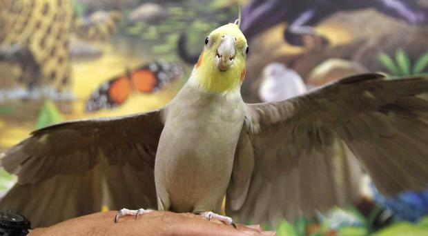 A New York woman has left thousands of dollars to her pet cockatiels. (AP)