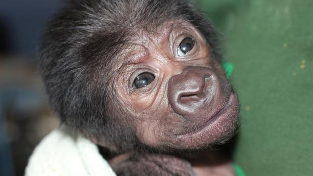 A baby western lowland gorilla has been born at Bristol Zoo after a very rare emergency caesarean (Bristol Zoo Gardens/PA)