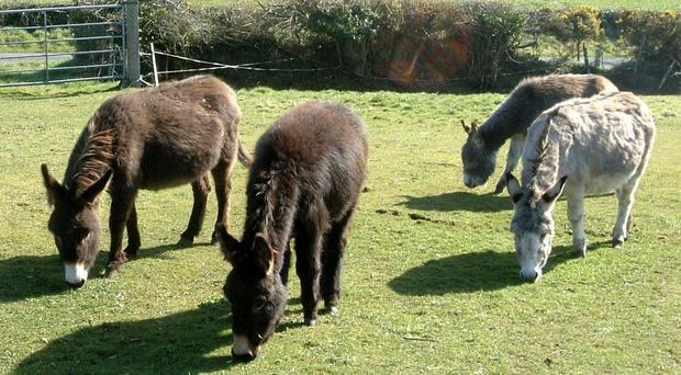 11 Donkeys (not pictured) were found by animal welfare officers